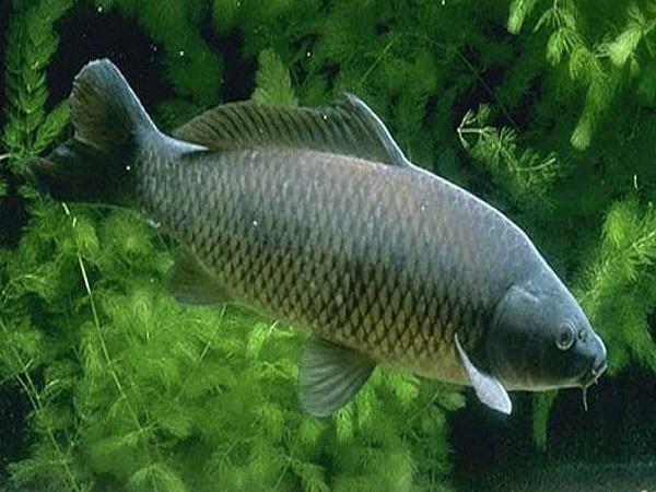 Mơ thấy cá chép là điềm báo gì, đánh con gì may mắn