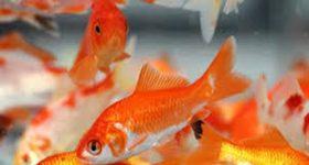 Giấc mơ thấy cá thường mang đến những ý nghĩa gì?