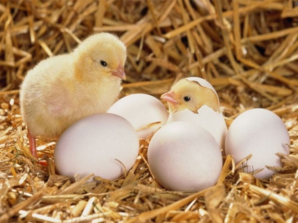Mơ thấy trứng gà mang lại cho bạn điềm báo tốt hay xấu?