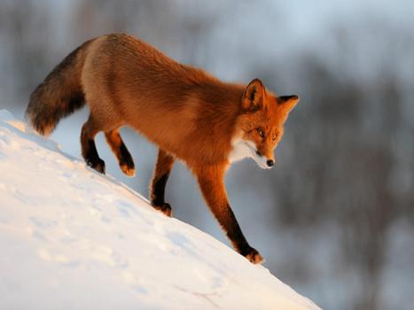 Mơ thấy con cáo mang đến điềm báo gì, có ý nghĩa như thế nào?