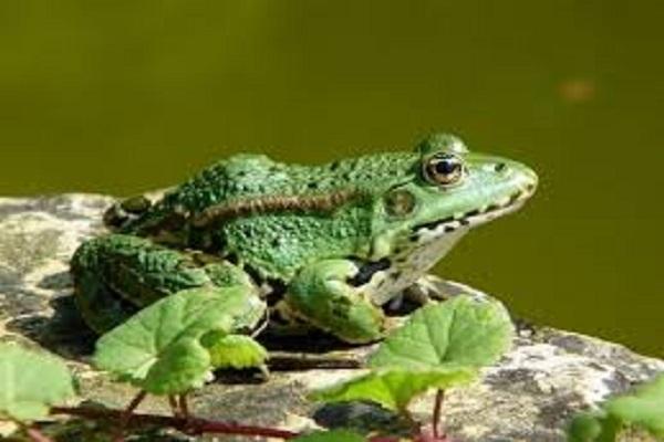 Lý giải điềm báo mơ thấy con ếch mang đến ý nghĩa gì?