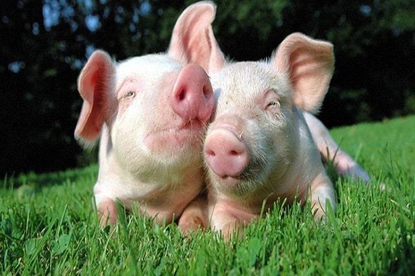Mơ thấy lợn mang đến nhiều ý nghĩa khác nhau