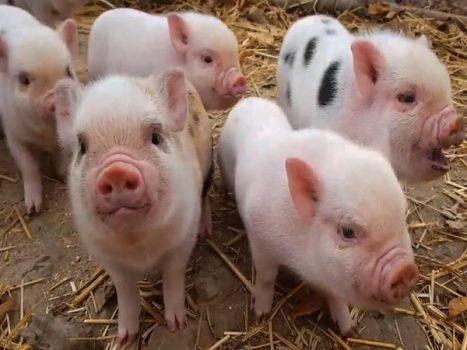 Lý giải điềm báo mơ thấy lợn mang đến ý nghĩa gì?