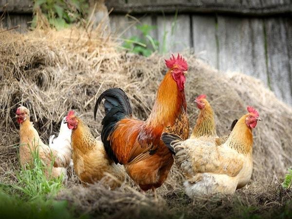 Mơ thấy gà đánh con gì dễ trúng ? Ý nghĩa giấc mơ thấy gà