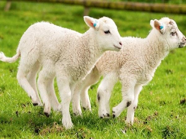 Mơ thấy cừu đánh con gì? Ý nghĩa giấc mơ thấy cừu