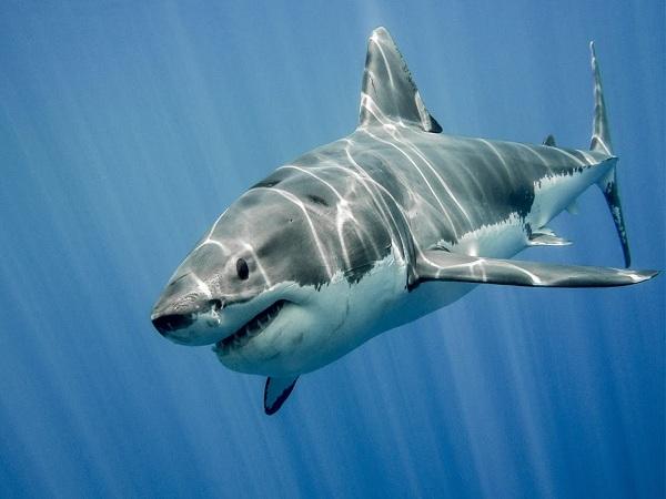 Mơ thấy cá mập – Điềm báo của giấc mơ thấy cá mập là gì