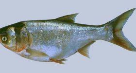 Nằm mơ thấy cá mè đánh con gì chắc ăn nhất?