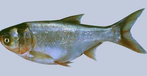 Nằm mơ thấy cá mè đánh con gì chắc ăn nhất? | Món Miền Trung