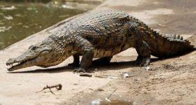 Ngủ mơ thấy cá sấu là điềm báo hên hay xui ? Đánh con gì ?