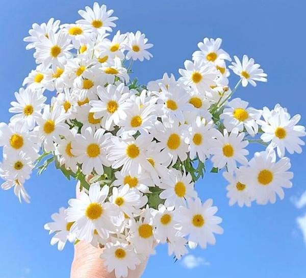 Nằm mơ thấy hoa cúc là điềm báo trước gì