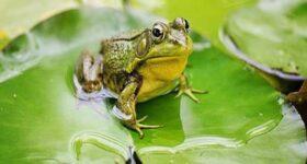 Chiêm bao mơ thấy con ếch là điềm báo gì ? Đánh lô đề số mấy ?