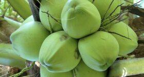 Nằm mơ thấy quả dừa – Giải mã chiêm bao thấy quả dừa có ý nghĩa gì