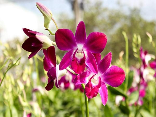 Mơ thấy hoa lan điềm báo tốt hay xấu, đánh con gì?
