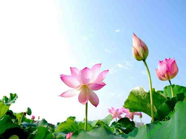 Nằm mơ thấy hoa sen đánh lô số mấy ? là điềm báo gì ?